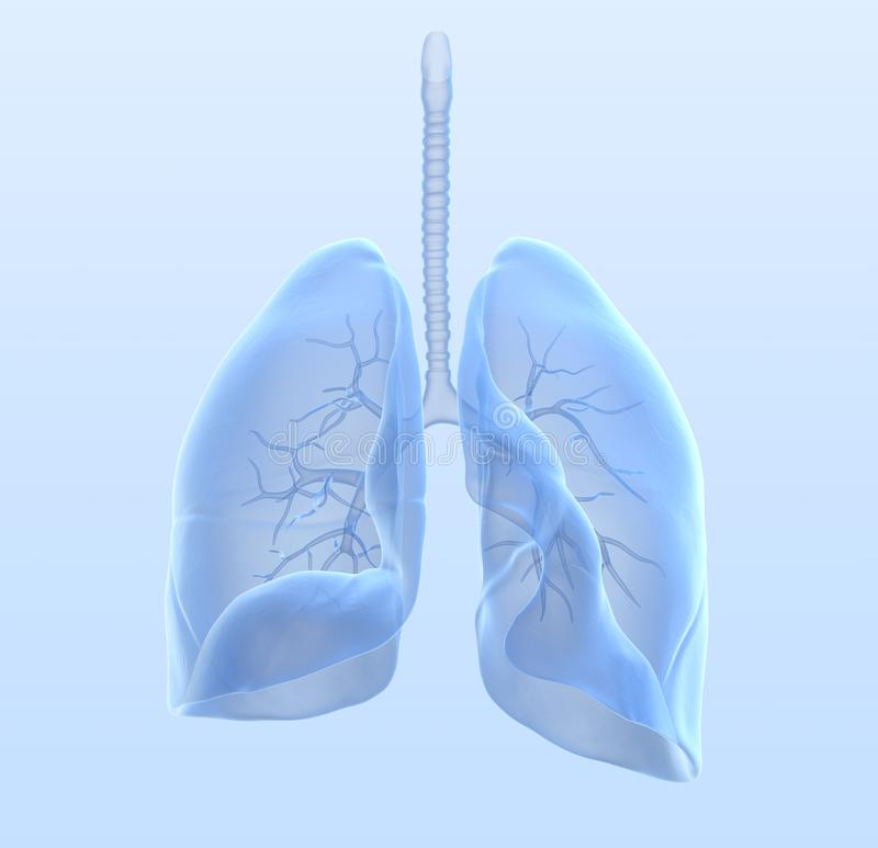 Healthy human lungs with bronchia and trachea, medically 3D illustration. Healthy human lungs with bronchia and trachea on light blue background, medically 3D vector illustration