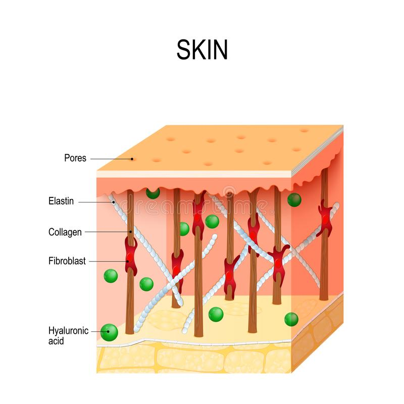 healthy human skin with collagen and elastin fibers, fibroblasts and Hyaluronic acid. vector illustration