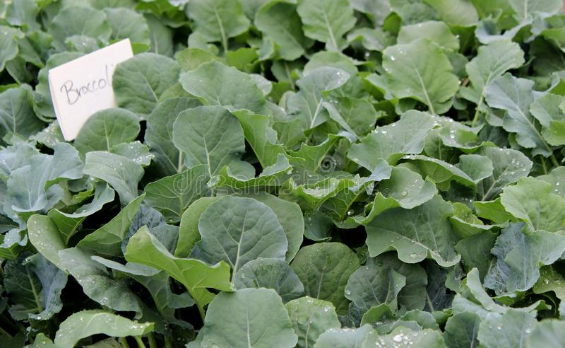 Flats of fresh broccoli with healthy leaves and sign declaring what plants are. Healthy leaves on vegetable plants with sign stating they are fresh broccoli for stock photos