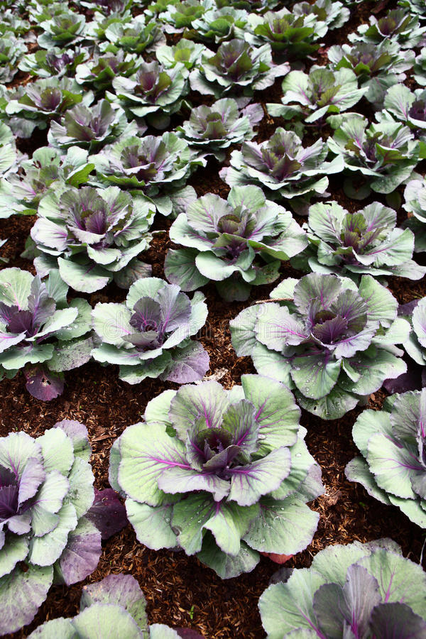 Healthy lettuce in rows in garden. stock photography