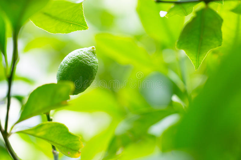 Healthy lime, lemon, citrus on a beautiful green tree branch full of leaves and bright sunlight as royalty free stock images