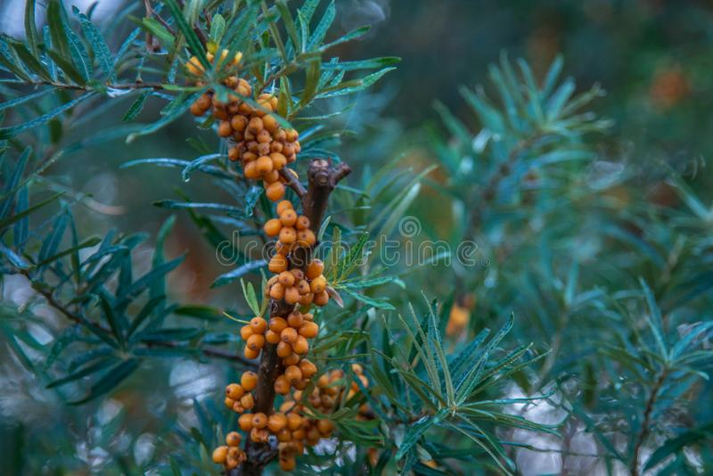 healthy nature, buckthorn plant and berries stock photo