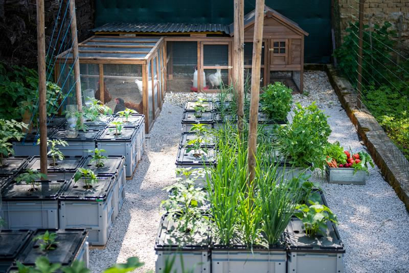 Healthy organic eating and sustainability lifestyle. Free range egg laying hens and homegrown vegetables. stock images
