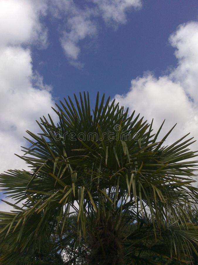 Healthy Palm tree with Cloudy sky stock image