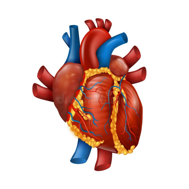 Healthy Realistic Human Heart Vector Illustration stock illustration