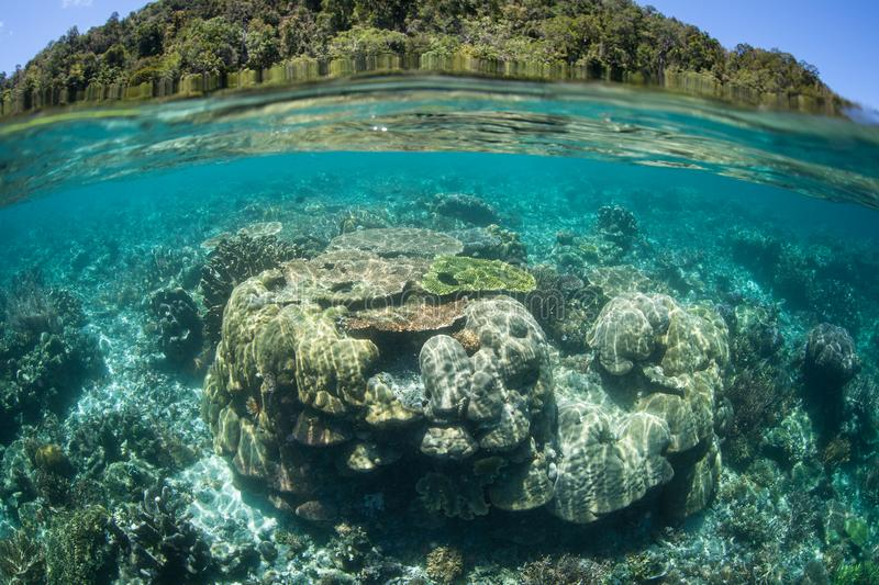 Healthy Reef-Building Corals in Raja Ampat. Healthy reef-building corals thrive in shallow water in Raja Ampat, Indonesia. This tropical region is home to royalty free stock photography