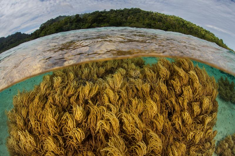 Healthy Soft Corals Grow in Shallows Near Ambon, Indonesia. Healthy corals grow in shallow water near the island of Ambon in Indonesia. This remote, tropical royalty free stock photos