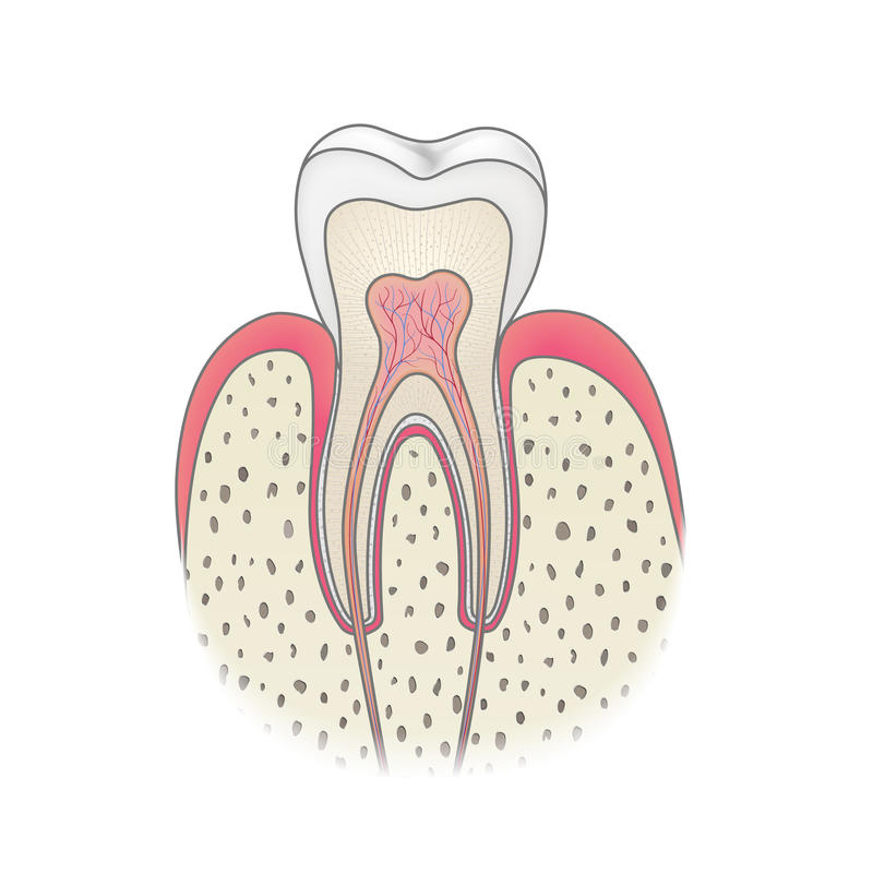 Healthy tooth anatomy stock vector. Illustration of mouth - 67948857