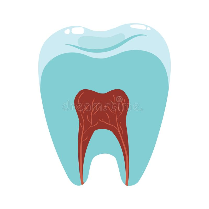 A healthy tooth in a cut. Hygiene of the oral cavity. Vector illustration for dental clinic. A cartoon drawing for. Children vector illustration