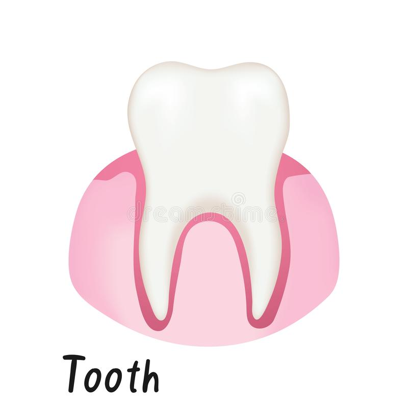 Healthy Tooth in Gum, Human Anatomy Vector Illustration. Isolated on White Background stock illustration