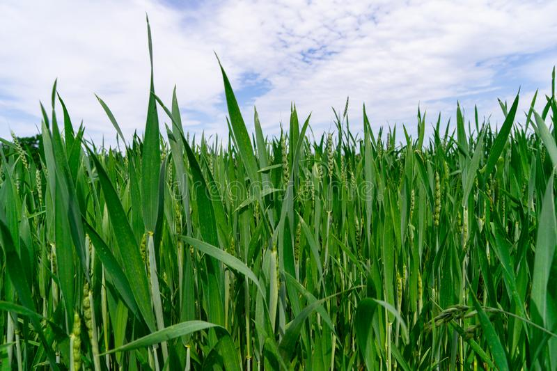 A healthy wheat crop growing in spring royalty free stock photography