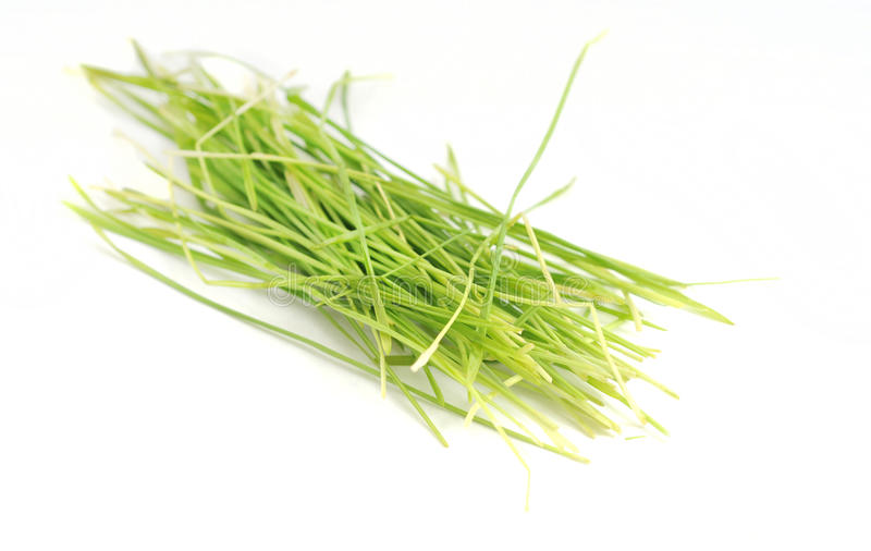 Healthy wheatgrass. Raw lifestyle with wheatgrass for juicing or health royalty free stock photo