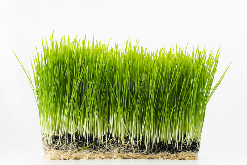 Healthy Wheatgrass. Nutritious homegrown Wheatgrass plants on white stock photos