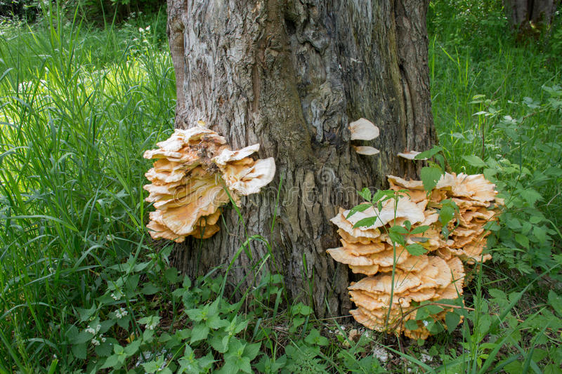 Healthy wild mushroom nature. Tree fungus growing on wood. Mushrooms group of fungi of the division Basidiomycota stock images