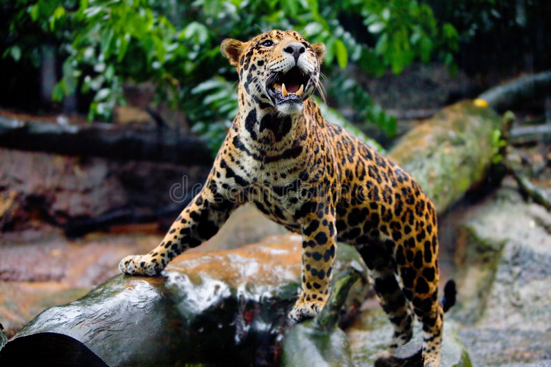 Healthy young jaguar in captivity stock photo