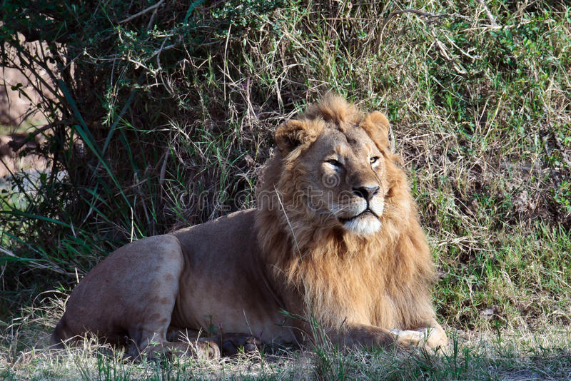 Download Healthy young lion stock image. Image of safari, predator - 15610629