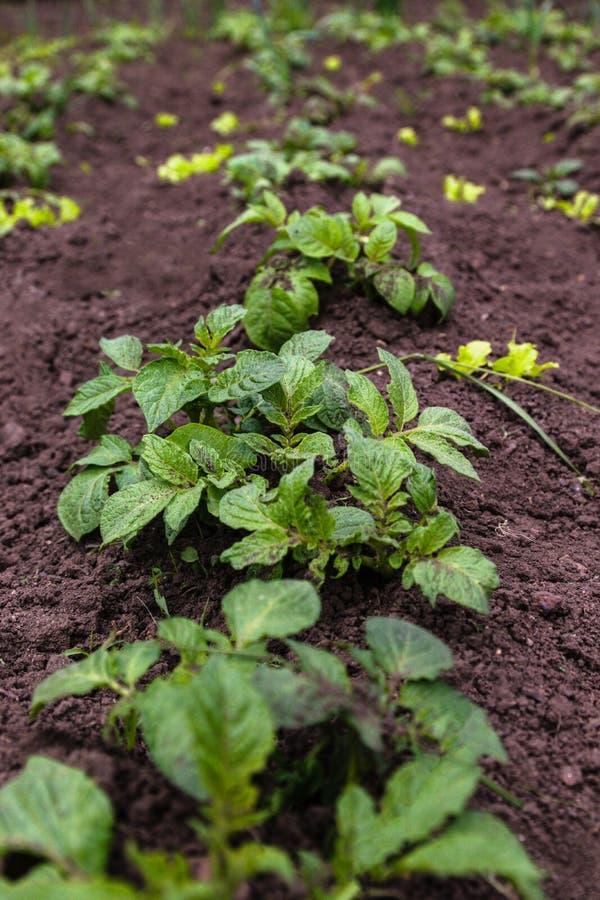Healthy young potato plant in organic garden. Young potato plant growing on the soil. Potato bush in the garden stock image