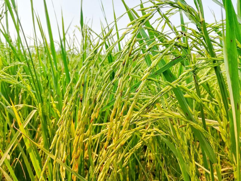 Healty Rice Field in Green and Yellow Shades stock photography