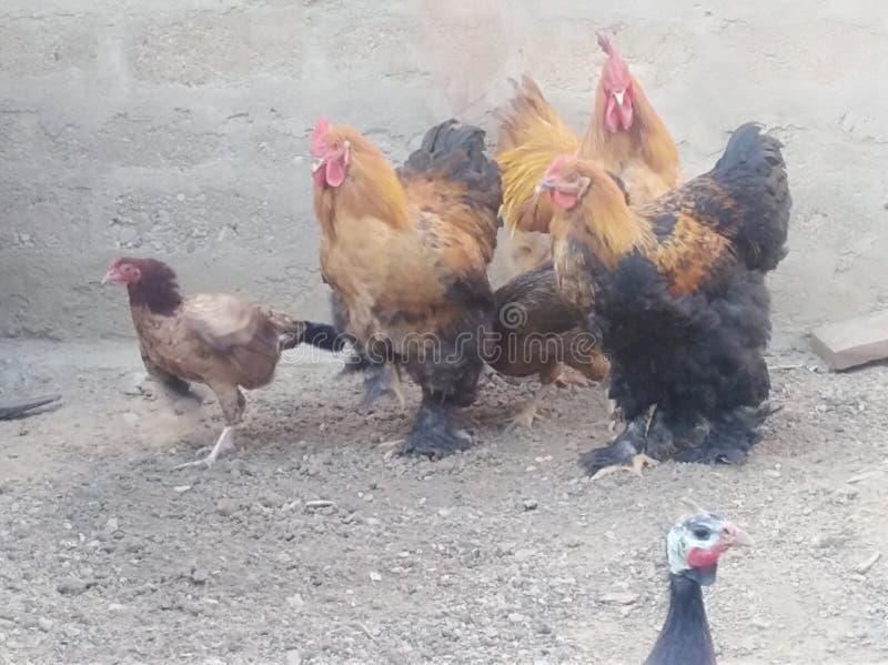 Hean s a healthy Karachi Pakistan farming stock images