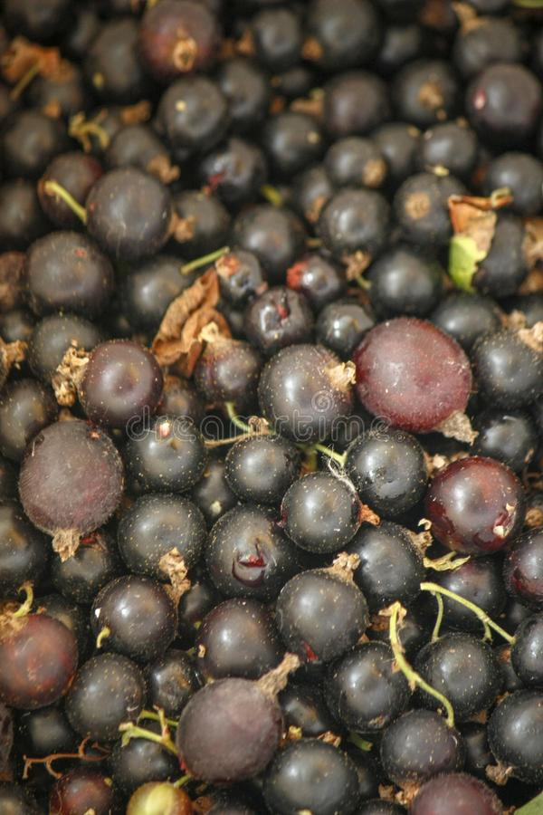 A bunch of freshly picked black currant. Textured background royalty free stock photography