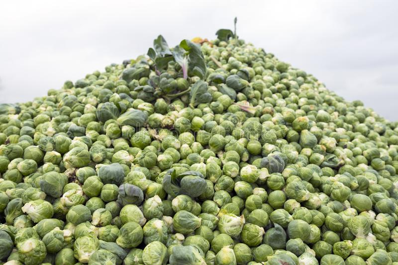 Heap of brussel sprouts fresh from the land royalty free stock photography