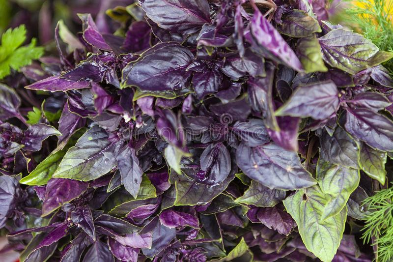 Heap of colorful fragrant basil. Macro photo of purple and green basil. Close-up basil. Shallow deep of field. Top view royalty free stock images