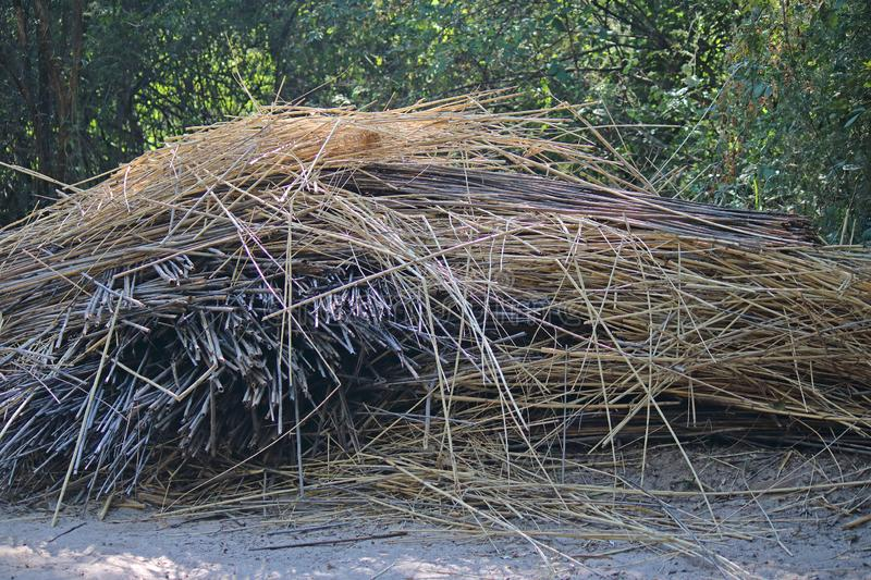 HEAP OF DRIED REEDS. View of a jumbled heap of cut and dried reeds with green vegetation in the background royalty free stock image