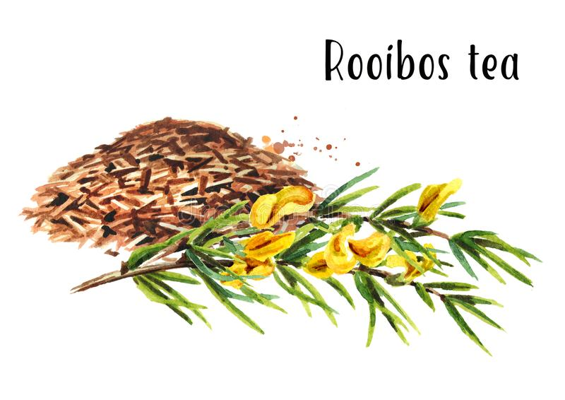 Heap of dry rooibos healthy organic tea with branch of the rooibos plant. Watercolor hand drawn illustration isolated on white ba. Ckground stock illustration