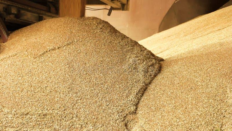 Heap grain wheat in a warehouse. royalty free stock photo