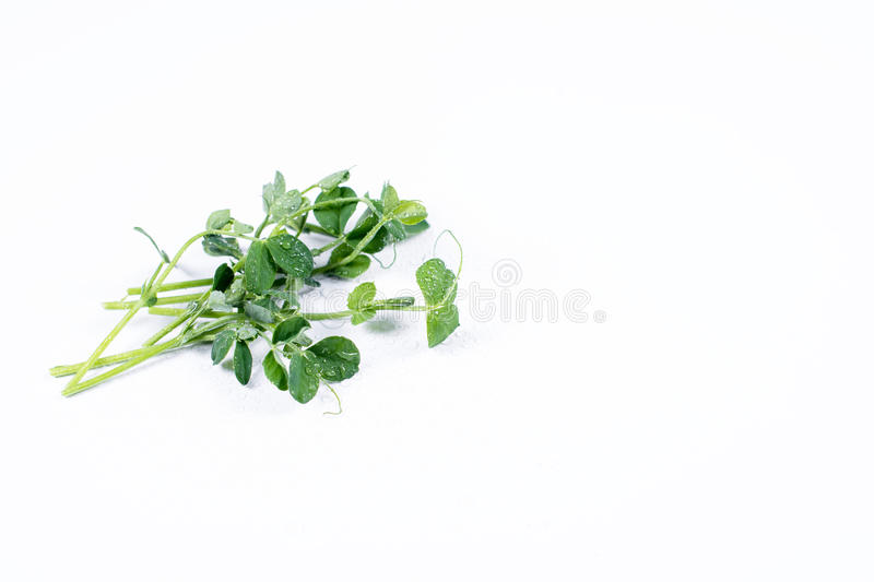 Heap of green pea sprouts, micro greens on white background. Healthy eating concept of fresh garden produce organically stock photo