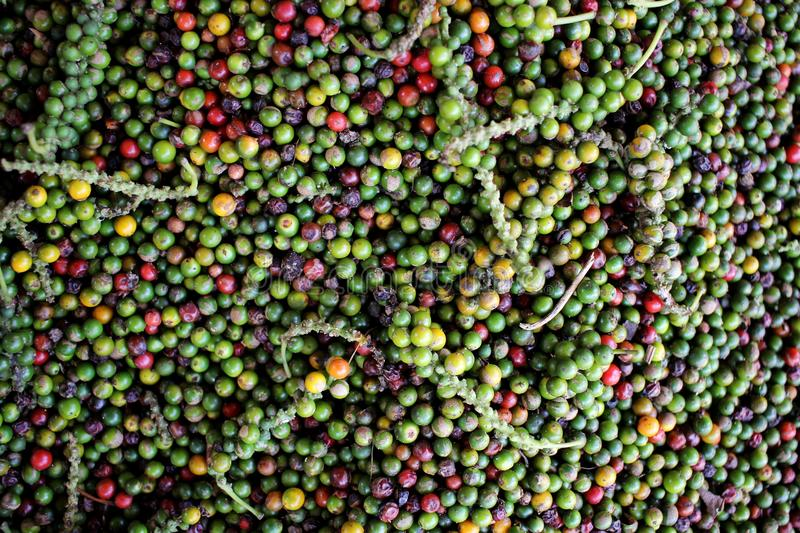 Heap of peppercorns - New Mangalore, India. 06/01/16 - have a look at heap of peppercorns - New Mangalore, India royalty free stock image