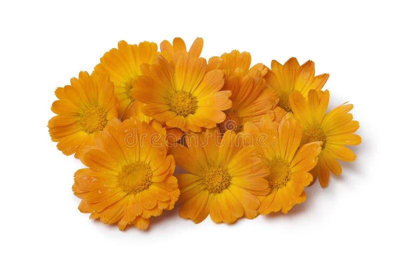 Heap of pot marigold flowers. Heap of fresh orange pot marigold flowers on white background royalty free stock photo