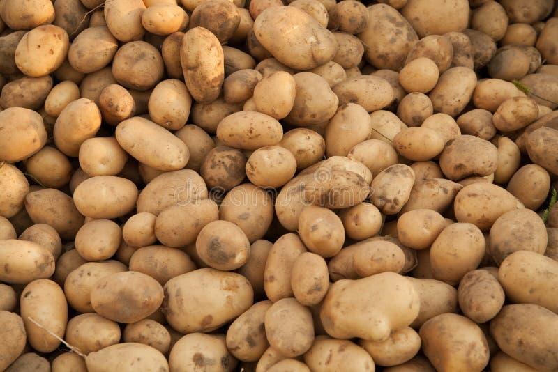 Heap of potatoes stock image