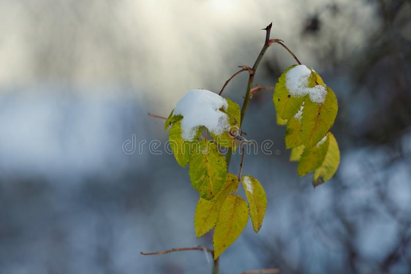 A heap of snow on the rose bush leaves. In the middle of the winter stock images