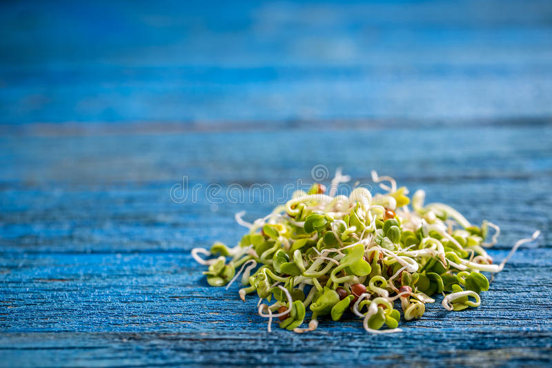 Heap of sprouted radish seeds. On blue wooden background royalty free stock images
