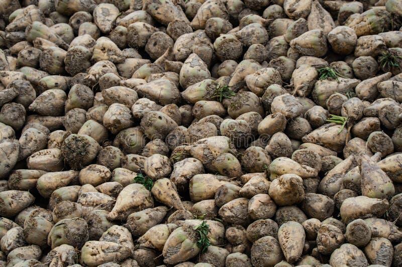 Heap of sugar beets stock image