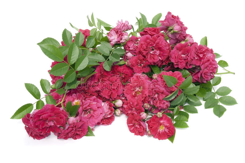 Heap of withering red roses. Flowers lie on the white table stock image