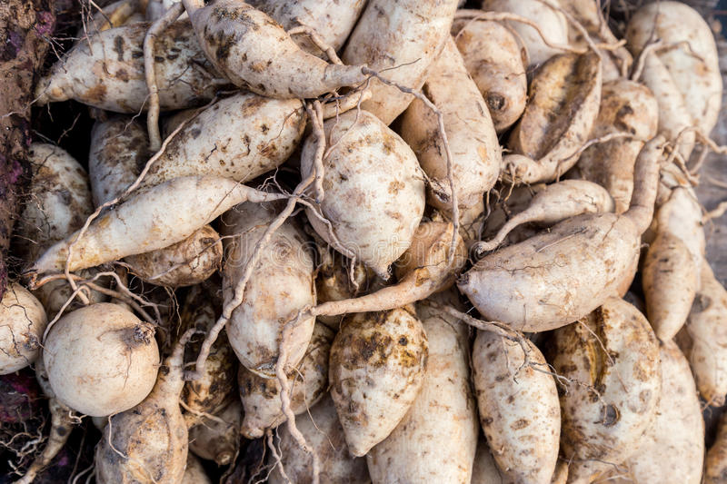 Heaps of freshly harvested yellow skin sweet potatoes roots royalty free stock image