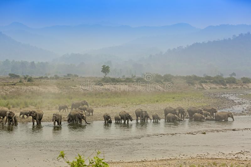 A heard of Asiatic Elephants congregating by the river royalty free stock image