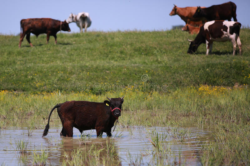 Heard of cattle. Grazing on a pasture stock photos