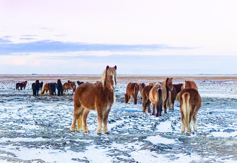 Heard of Iclandic Horses in Snowy field Wintertime royalty free stock photography