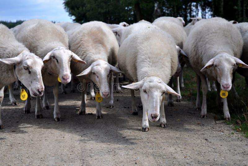 Download Heard Of Sheep Royalty Free Stock Photos - Image: 10529338