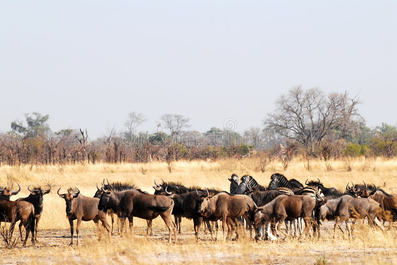 Heard of wildebeests. A heard of wildebeests in the african savvana stock images