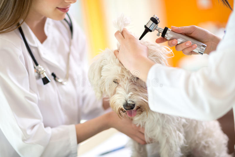 Hearing checkup of Maltese dog in vet infirmary. Hearing checkup of Maltese dog by veterinarians in vet infirmary royalty free stock photo