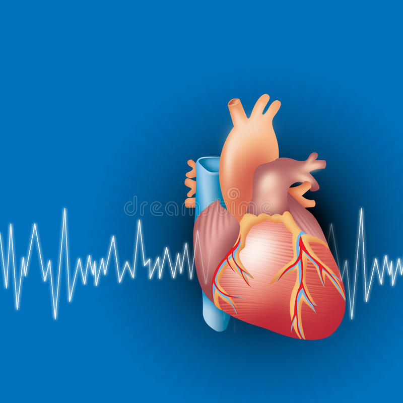Heart. Illustration of human heart with ecg ekg background royalty free illustration