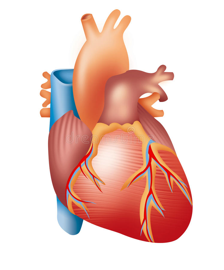 Heart. Illustration of human heart on white background stock illustration