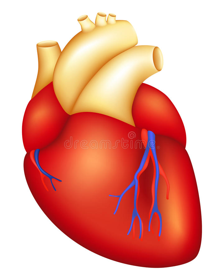 Heart. Human Heart, isolated on the white royalty free illustration