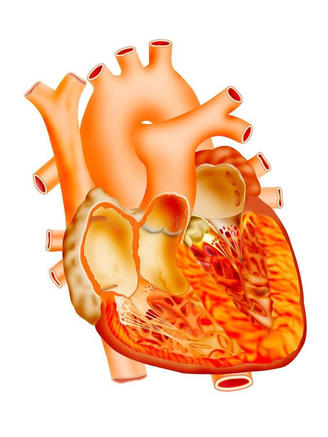 Heart. Detailed heart illustration on isolate background vector illustration