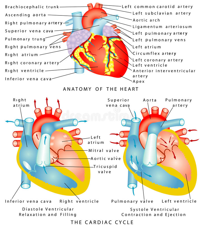 Heart. Anatomy of the . The Cardiac Cycle. Diastole Ventricular Relaxation and Filling. Systole Ventricular Contraction and Ejection royalty free illustration