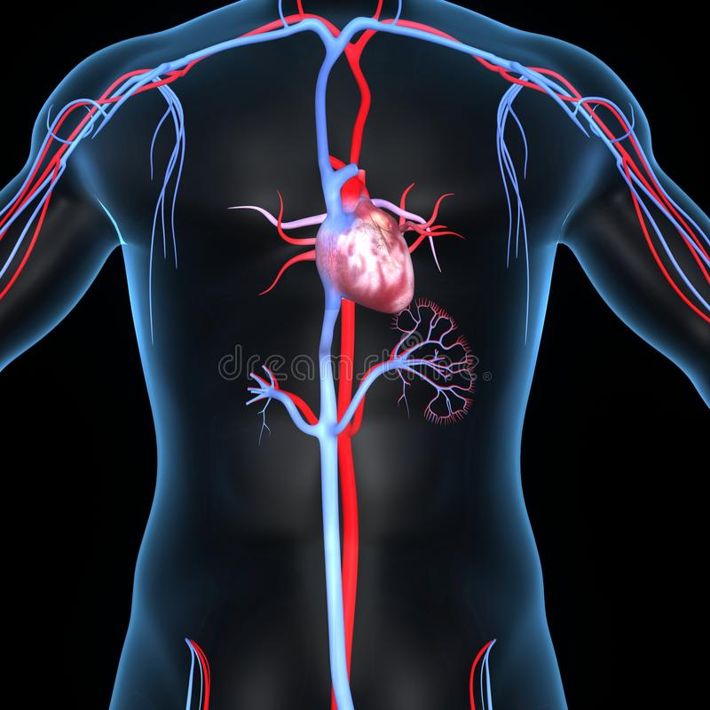 Heart with Arteries and veins. The cardiovascular system consists of the heart, blood vessels, and the approximately 5 liters of blood that the blood vessels stock illustration